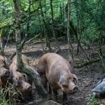 Cochons noirs recadre 1